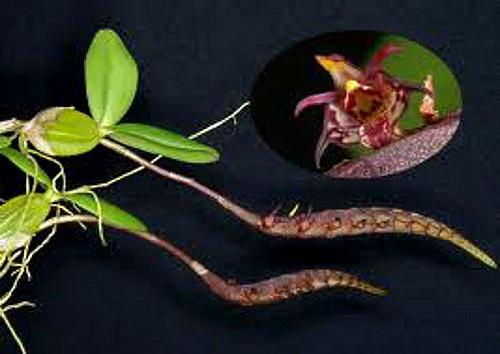 Bulbophyllum scaberulum