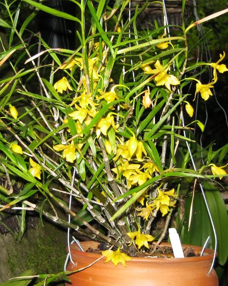 how to look after orchids in winter
