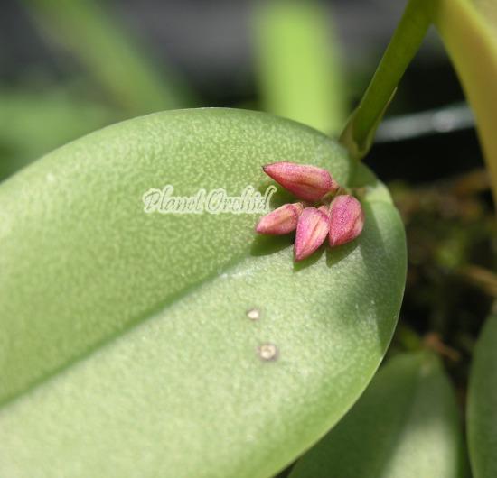 Acianthera (Pleurothallis) prolifera