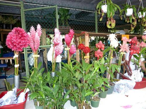 Festival de las flores de aibonito 2012 planet orchid for Jardines de anturios