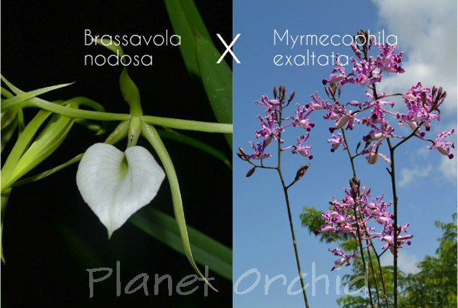 Brassavola nodosa x Myrmecophila exaltata